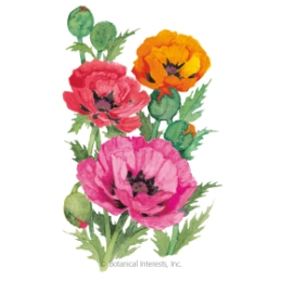 1034i_Poppy-Oriental-Blend